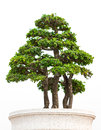 The bonsai tree is isolated on a white background Royalty Free Stock Image