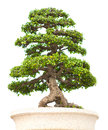 The bonsai tree is isolated on a white background Stock Image