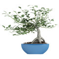 Bonsai tree in a pot Royalty Free Stock Photo