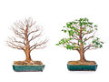 Bonsai tree set of trees in flowerpots on white background Stock Photo