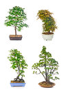 Bonsai tree set of trees in flowerpots on white background Royalty Free Stock Photo