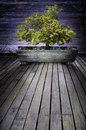 Bonsai tree in a wooden planter on a wooden plank deck with large open area Stock Image