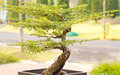 Bonsai trees beautifuls thailand Stock Photo