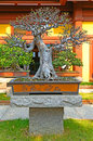 Bonsai in zen garden full grown plant traditional pot at a hong kong Royalty Free Stock Images