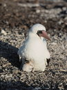 Booby bird with its baby Royalty Free Stock Image