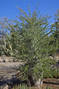 Boojum tree or fouquieria columnaris in boyce thompson arboretum state park near city of superior az Stock Photography