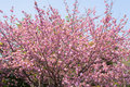 Booming double cherry blossom branches in the blue sky Royalty Free Stock Photography