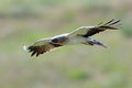 The booted eagle aquila pennata in flight Royalty Free Stock Photos