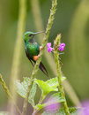 A Booted Racket-Tail Hummingbird Stock Photos