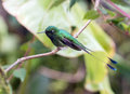 Bootedracket tail ocreatus underwoodii portrait of a small green hummingbird with long rackets perching on a branch mindo ecuador Stock Image