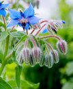 Borage Stock Foto