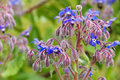 Borage is blooming in blue Royalty Free Stock Photo