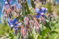 Borage, flowers and buds Stock Photos
