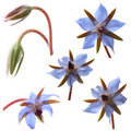 Borage flowers (starflower) Royalty Free Stock Photo