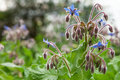 Borage officinalis Rare Blue Flower Royalty Free Stock Photo