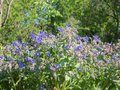 Borage plant  full of blue star flowers  during the spring Royalty Free Stock Photo