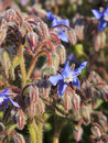 Borage or starflower blue flowers of borago officinalis Stock Photos