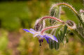 Borago officinalis on the blurred background it is used medicinally the leaves are often added to teas and salads and the flowers Royalty Free Stock Images