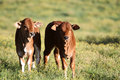 Boran beef cattle calves Royalty Free Stock Photo