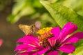 Borboleta que alimenta na flor cor de rosa da palha Foto de Stock