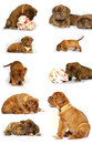 Bordeaux mastiff puppies with great bones Royalty Free Stock Photo