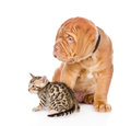 Bordeaux puppy dog and bengal kitten looking away isolated on white Stock Photo