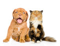 Bordeaux puppy dog and happy cat in front. isolated on white Royalty Free Stock Photo