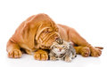 Bordeaux puppy dog kisses bengal kitten. isolated on white backg Royalty Free Stock Photo