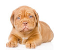 Bordeaux puppy dog lying in front view. isolated on white background Royalty Free Stock Photo