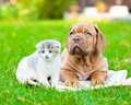 Bordeaux puppy dog lying with small kitten on green grass
