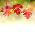 Border of  Autumn Red colorful Leaves  on white background Royalty Free Stock Photo