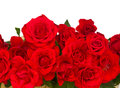 Border of blooming scarlet roses isolated on white background Stock Images