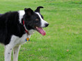 Border collie 2 Royalty Free Stock Images
