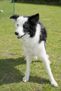 Border collie Immagine Stock