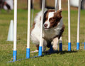 Border Collie agility Stock Photography