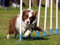 Border Collie agility Stock Photo