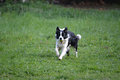 Border collie with a ball playful carrying Stock Images