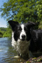Border collie beautiful staying in the water of an river Royalty Free Stock Photography