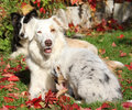 Border collie bitch with puppy in autumn Royalty Free Stock Photos