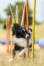 Border Collie demonstrates fast weave poles at agility competiti Royalty Free Stock Photo