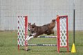 Border Collie at a Dog Agility Trial Royalty Free Stock Photo
