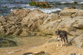 Border collie dog amongst the rocks on beach plays losari in corsica Stock Photography