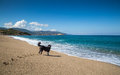 Border collie dog on beach at sagone in corsica looking out to sea the plage de santana near the west coast of Royalty Free Stock Photos