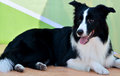 A border collie dog in black and white stay for rest Stock Photos