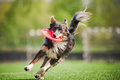 Border collie dog brings the flying disc funny in jump Stock Photo