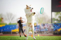 Border collie dog catching the flying disc in jump Royalty Free Stock Photos