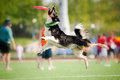 Border collie dog catching the flying disc in jump Stock Photos