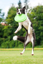 Border collie dog catching frisbee in jump summer Royalty Free Stock Images