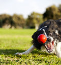 Border collie dog caught middle catching red rubber ball sunny day urban park Stock Images
