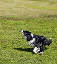 Border collie dog caught middle jumping to fetch ball sunny day urban park Stock Photography